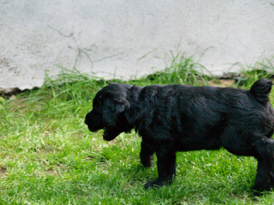 GIANT_SCHNAUZER_1ST_DAY_OUT_001.JPG