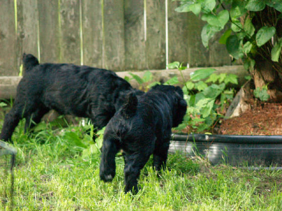 GIANT_SCHNAUZER_1ST_DAY_OUT_0012.JPG