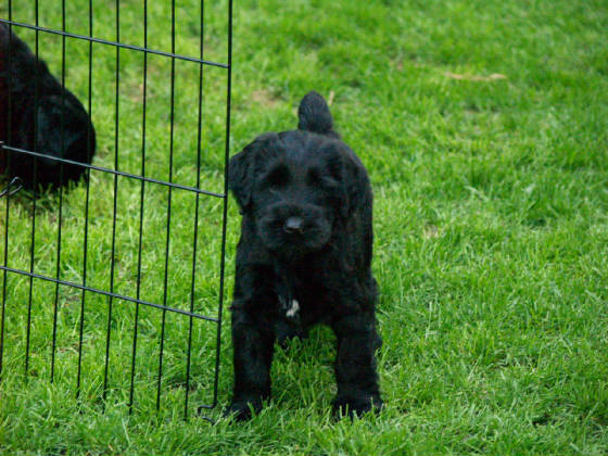 GIANT_SCHNAUZER_1ST_DAY_OUT_0013.JPG