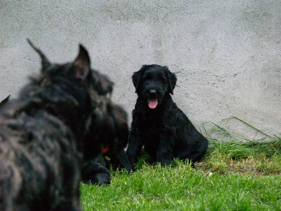 GIANT_SCHNAUZER_1ST_DAY_OUT_006.JPG