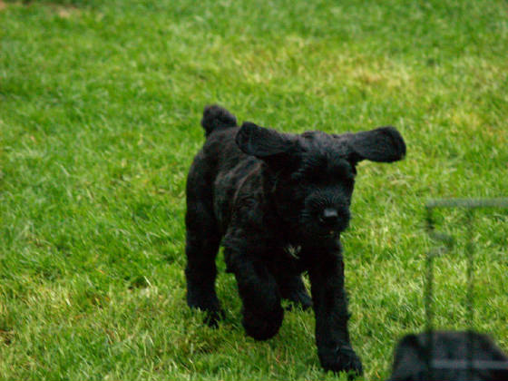 GIANT_SCHNAUZER_1ST_DAY_OUT_009.JPG